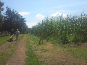 Getting ready for the a-maize-ing corn maze at the Howell Living History Farm.